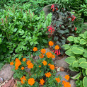 Mandarin Orange Cosmos