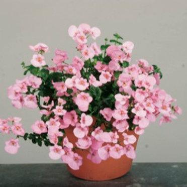 Diascia - Darla Light Pink