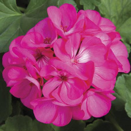 "Patio Pot - Pink Geranium 12"" (no spike)"