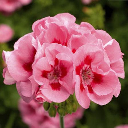Geranium - Calliope Pink Flame