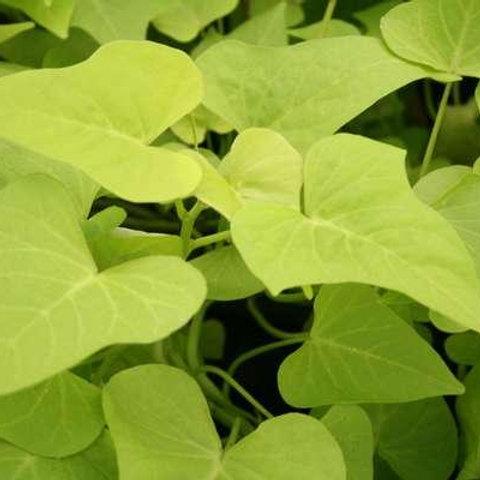 Sweet Potato Vine - Marguerite