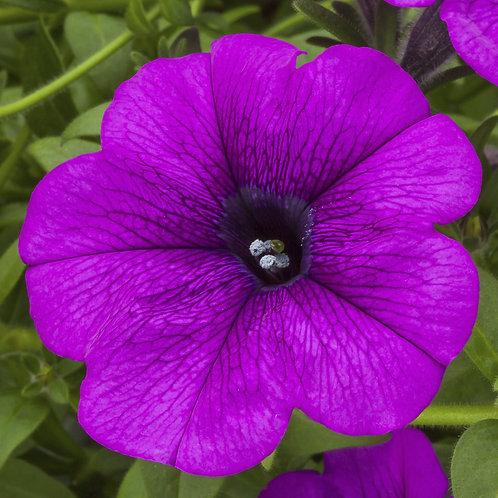 Petunia - Sanguna Deep Lavender Vein