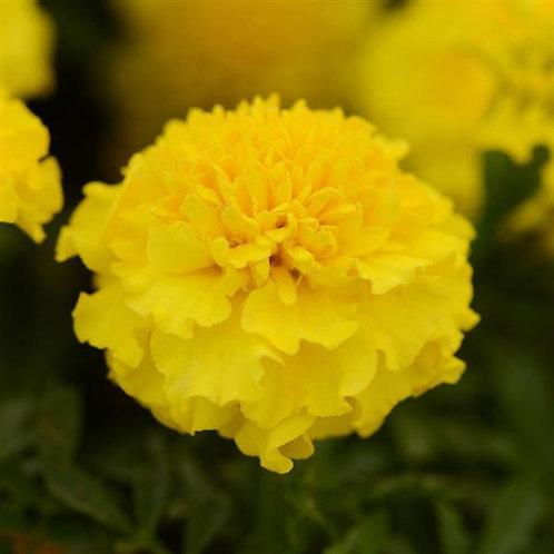 Marigold, French - Yellow dwarf