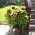 Coleus Pot Pinapple Beauty