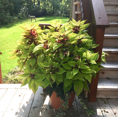 Coleus Pot Pinapple Beauty