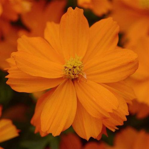 Cosmos - Mandarin Orange