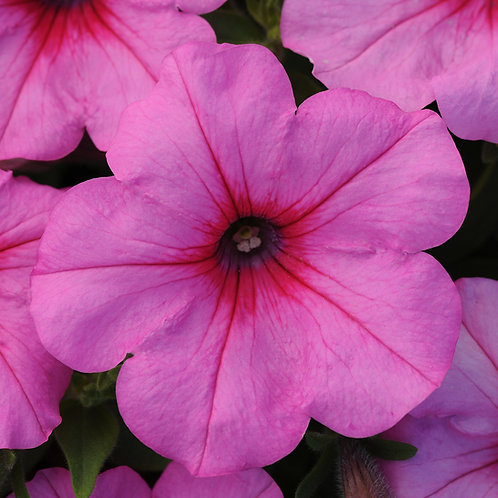 Petunia - Easy Wave Pink Passion