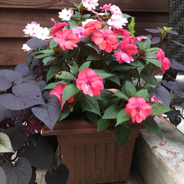 Sunpatiens Deck Pot