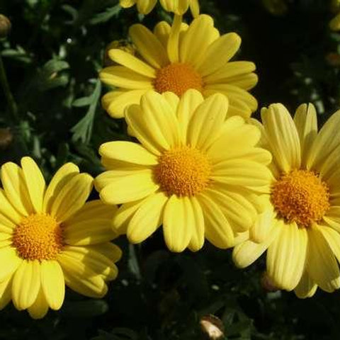 Argyranthemum - Beauty Yellow