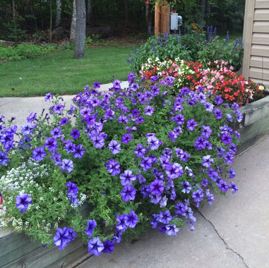 Moms Daddy Blue Petunias