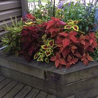 Coleus Raised Planter in Shade
