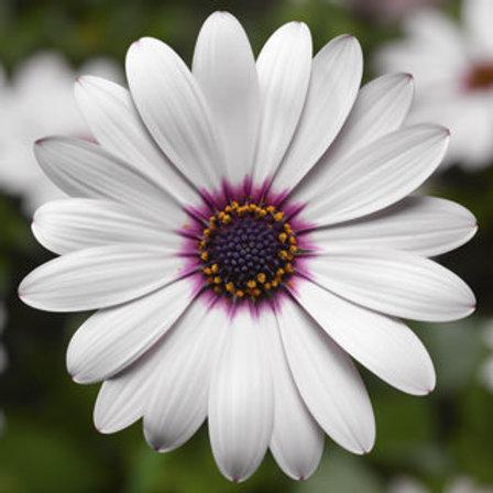 Osteospurmum (African Daisy) - Tradewinds White