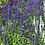 Thumbnail: Salvia - Victoria Blue