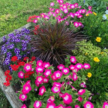 Merlin Rose Morn Petunia