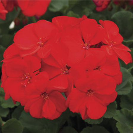 Geranium zonal - Rock Mountain Deep Red