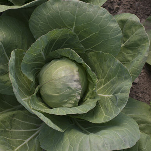 Cabbage - Tiara