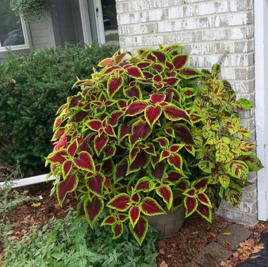 Coleus Wizard Mix Pot