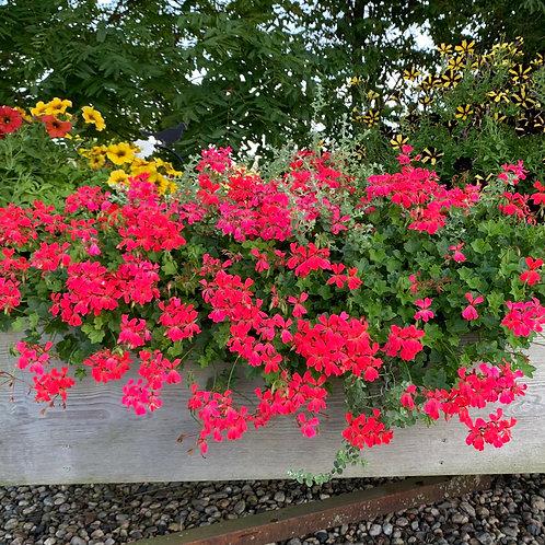 Geranium - Ivy Red Mini Cascade