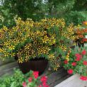 Ray Sunflower petunia