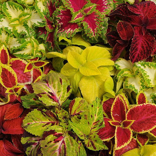Coleus - Wizard Mix