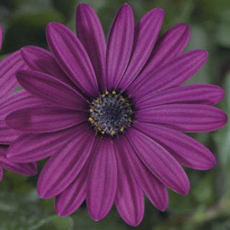 Osteospurmum (African Daisy) - Tradewinds Deep Purple