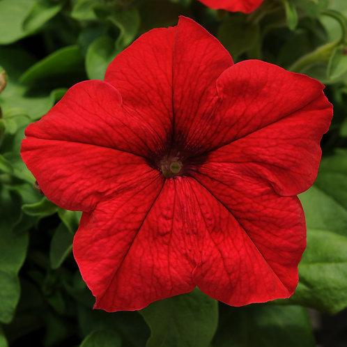 Petunia compact - Pretty Grand Red