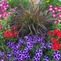 Cascadia Purple Diamond Petunia