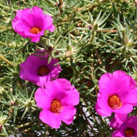 Portulaca Trailing - Hot Pink