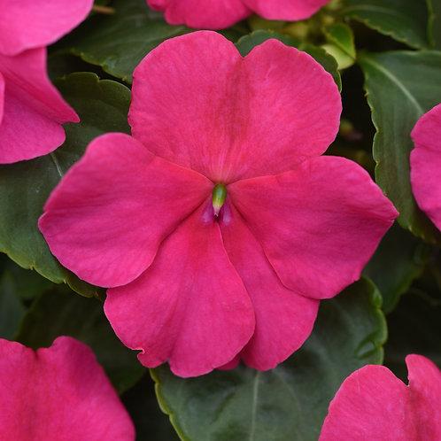 Impatiens walleriana - Beacon Rose