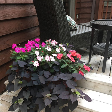 Sunpatiens Mix and Sweet Potato Vine