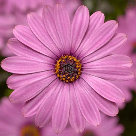 Osteospurmum (African Daisy) - Tradewinds Light Purple