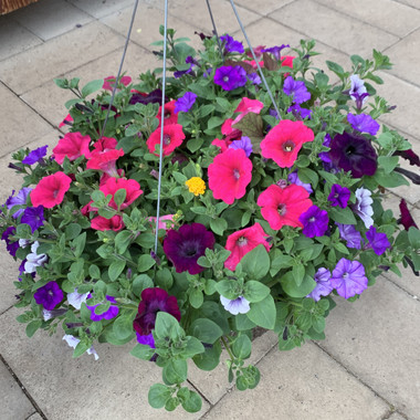 Wave Petunia Mis in large hanging basket