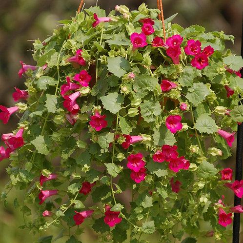 Lofos - Compact Rose