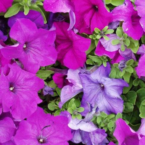 Petunia compact - Limbo Violet