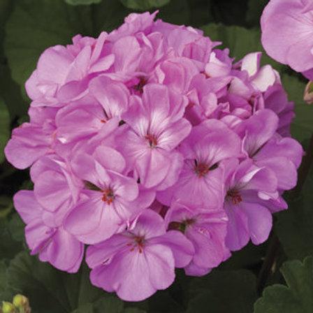 Geranium zonal - Tango Lavender