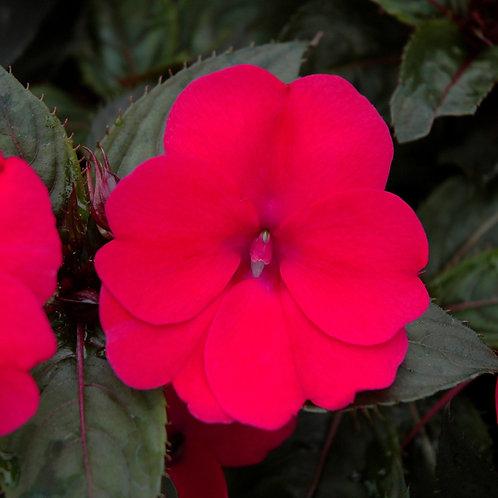 Impatiens - Sunpatiens Compact Deep Rose