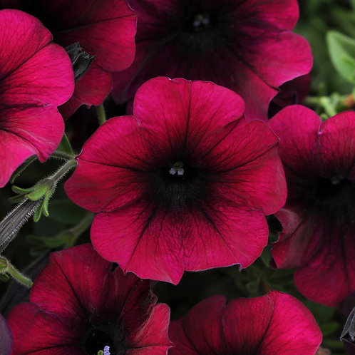 Petunia - Easy Wave Velour Burgundy