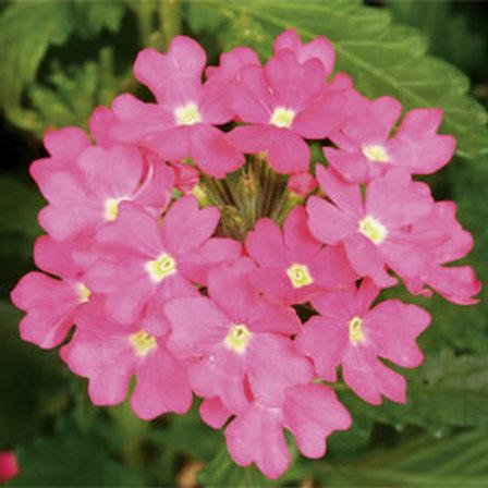 Verbena Trailing - Lanai Deep Pink