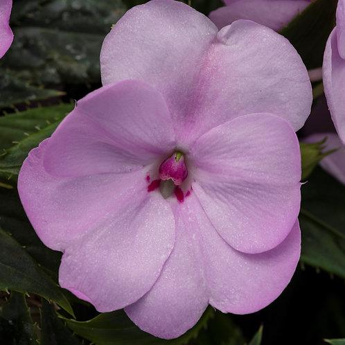 Impatiens - Sunpatiens Compact Orchid