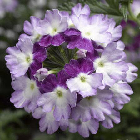 Verbena Trailing - Lanai Twister Purple