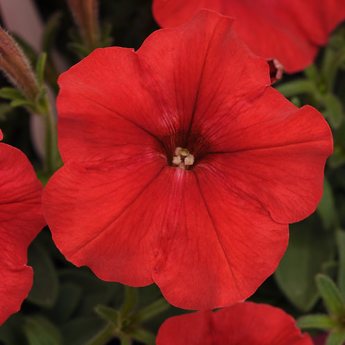 Petunia - Easy Wave Red