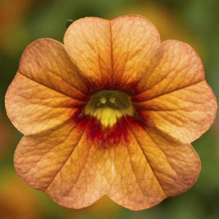 Calibrachoa - Callie Apricot