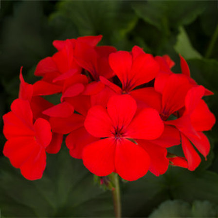 Geranium - Caliente Orange