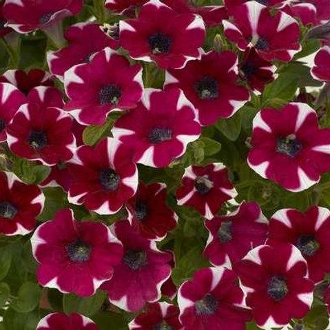 Petunia - Cascadia Bicolor Cabernet