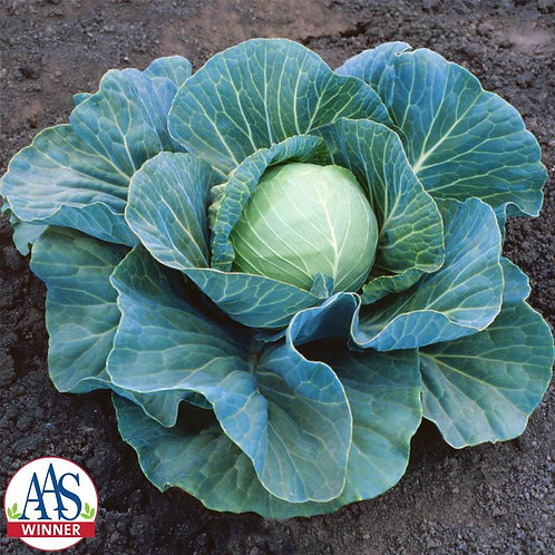 Cabbage - Stonehead