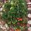 Thumbnail: Tomato - Tumbling Tom