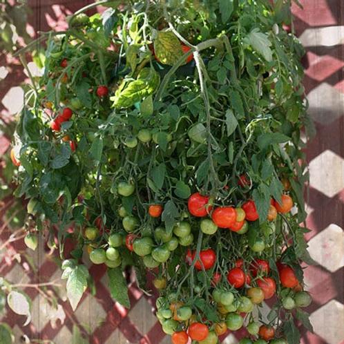 Tomato - Tumbling Tom