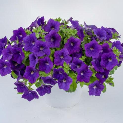 Petunia - Cascadia Blue Omri