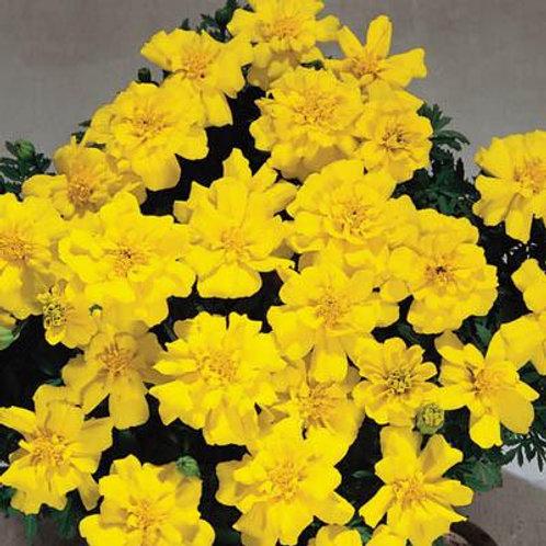 Marigold, French - Safari Yellow