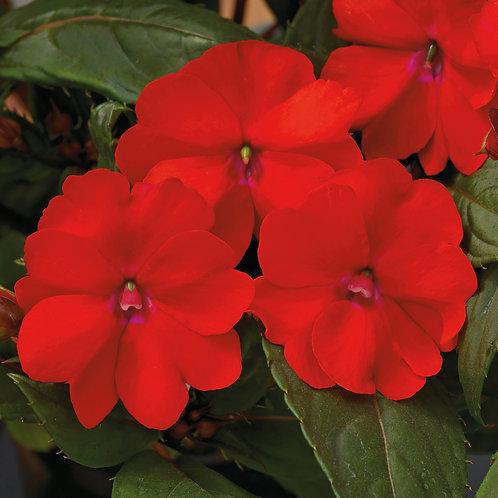 Impatiens - Sunpatiens Vigorous Scarlet Red